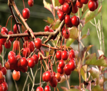 Crab apples Stock Footage
