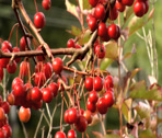 Stock Video Footage of crab apples