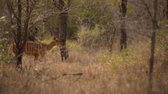 Nyala Buck Stock Footage