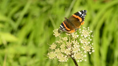 Red admiral on a flower Stock Footage