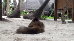 Big pet cat hunts birds at the Maldives Stock Footage