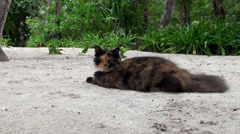 Big spotted pet cat at the Maldives Stock Footage