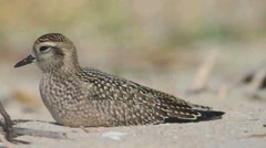American Golden-Plover (Pluvialis dominica) resting on a beach Stock Footage