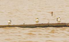 terns on a log in the amazon - stock photo