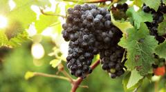 0111 Black grape in a vineyard Stock Footage