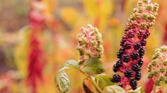 Black fruit, berries in the garden Stock Footage