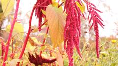 Red flowers amaranth in the garden, vegetable garden Stock Footage
