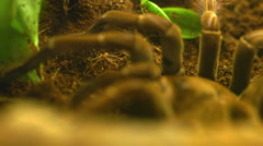 rack focus to macro tarantula - stock footage