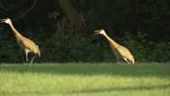 Stock Video Footage of Birds Cranes