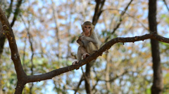 Rhesus macaque monkey on tree Stock Footage