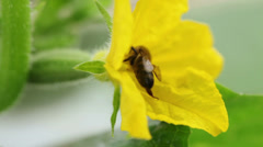 Bee pollinating cucumbers HD Stock Footage