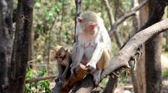 Rhesus macaque monkeys Stock Footage