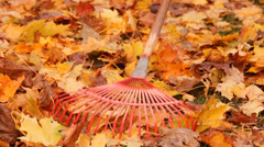 autumn, shipping yellow maple leaves to rake - stock footage