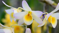 Dendrobium Orchid Stock Footage