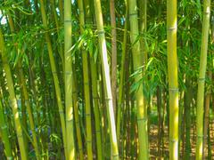 Bamboo plants Stock Photos
