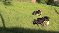 Dairy cows grazing in lush green pasture Stock Footage