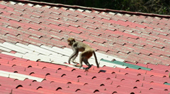 Rhesus macaque on house roof Stock Footage