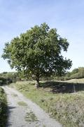 old oak in nature holland - stock photo