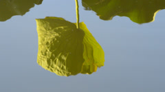 Reflection of waterlily leaves Stock Footage