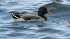 Mallard Ducks on water, Anas platyrhynchos - stock footage