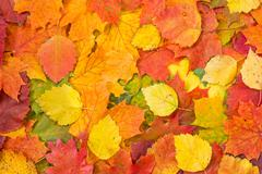 Background made of fallen autumn leaves Stock Photos