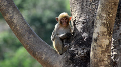 Rhesus macaque in Loei - stock footage