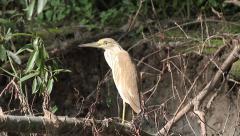 Squacco Heron, Ardeola ralloides Stock Footage