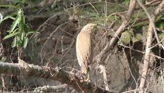 Squacco Heron on a branch near water, Ardeola ralloides Stock Footage
