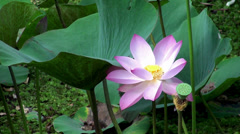 Rosy lotus flower & seed head at a pond. Stock Footage