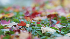 Focus pulling throw autumn maple leaves on the bush Stock Footage
