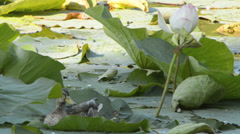 Small duck between tall waterlilies Stock Footage