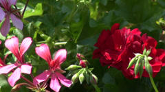 Beautiful red and pink geraniums, romantic garden, summer, sunny day Stock Footage