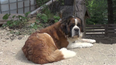 Chain Saint Bernard guarding property, mature dog, giant rescue animal Stock Footage