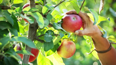 0060 Picking apples from a tre Stock Footage