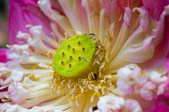 lotus, wilted lily. - stock photo