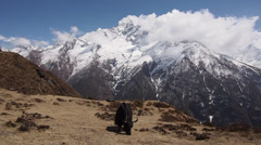 Yak Grazing in the Nepal Himalayan - stock footage