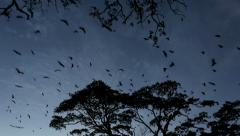 Bats flying at dusk tracking Stock Footage
