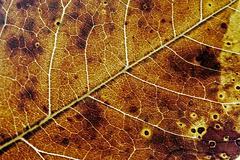 gold autumn leaf texture 1 - stock photo