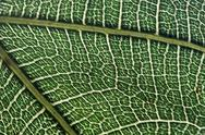 Stock Photo of leaf texture 1