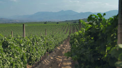 Tracking shot of a vineyard with hilly background Stock Footage