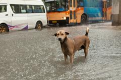 poor street dog standing in rain flood water - stock photo