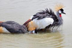 Grey crowned crane washing in natural water pool Stock Photos