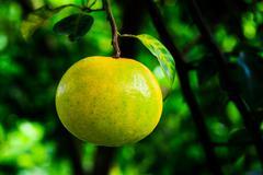 Orange on tree - stock photo