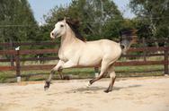 Beautiful palomino horse running Stock Photos