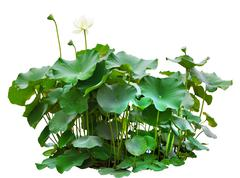 green leaves of lotus tree in pond isolated on white background - stock photo