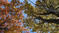 Stock Video Footage of Autumn in trees.