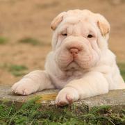 adorable shar pei puppy in the garden - stock photo
