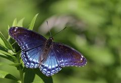 Faded red-spotted purple butterfly Stock Photos