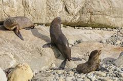 young fur seals basking in the sun - stock photo