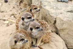 Family meerkat on the look out Stock Photos